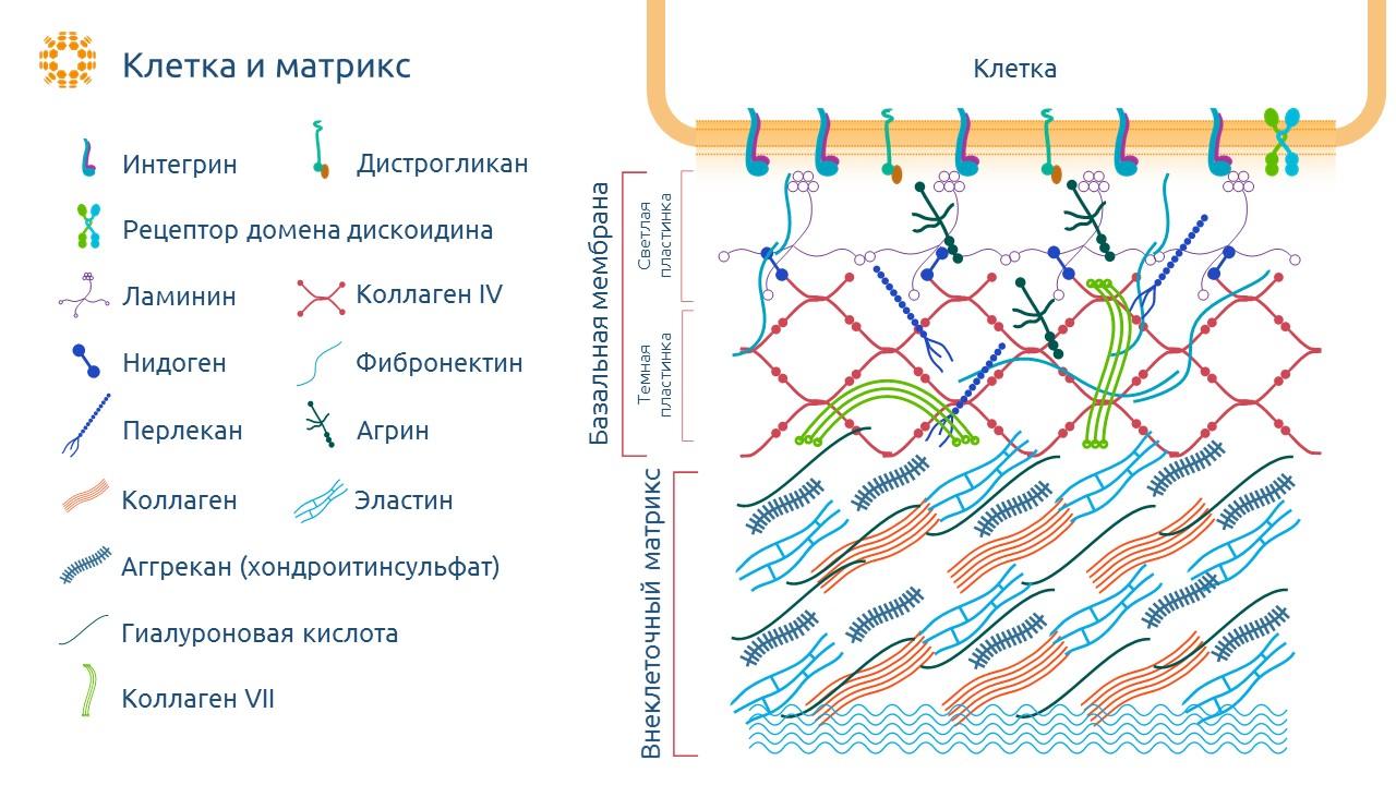 Внеклеточный матрикс - структура