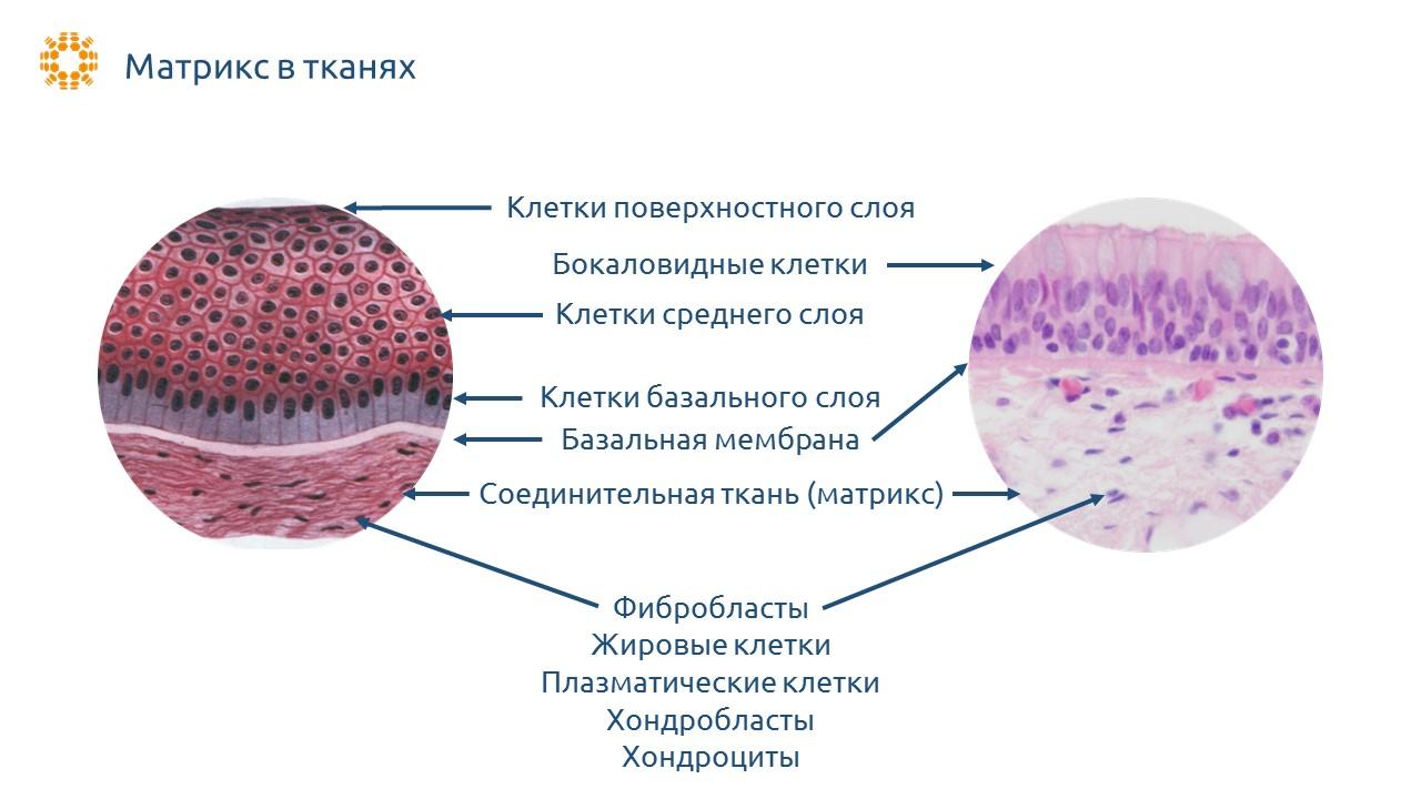 Матрикс в тканях