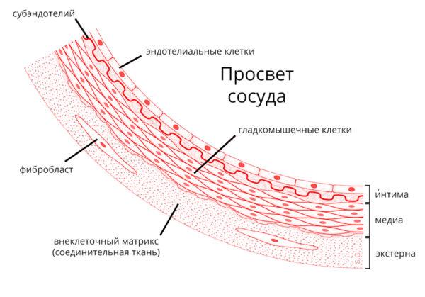 Схема стенки кровеносного сосуда